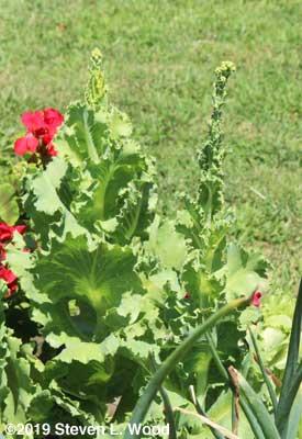 Sun Devil lettuce going to seed
