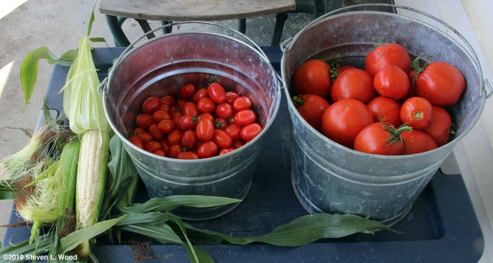 Silver Queen corn and tomatoes