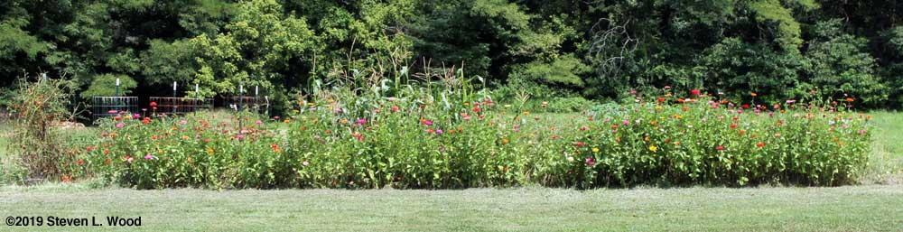 Row of zinnias