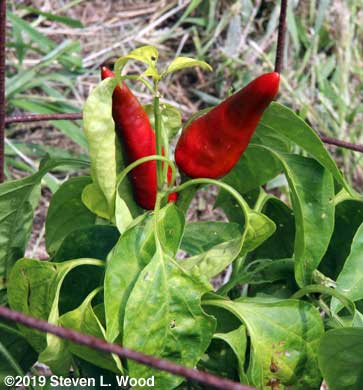 Paprika peppers growing pointy side up