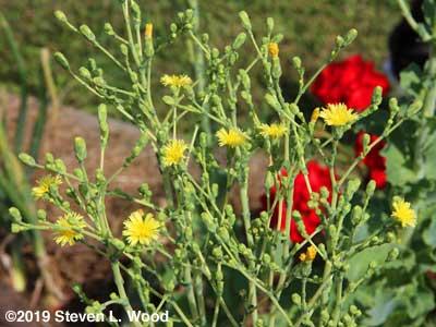 Blooms on Sun Devil lettuce plant