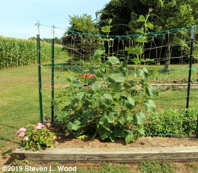 JLP cucumber vines
