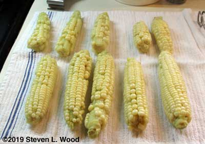Silver Queen sweet corn cooling after blanching