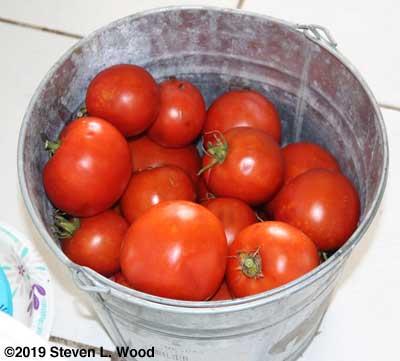 Regular tomatoes
