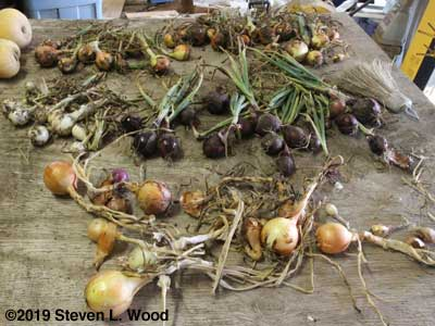 Storage onions on drying table