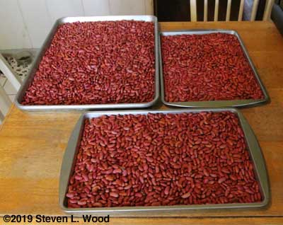 Kidney beans on drying trays
