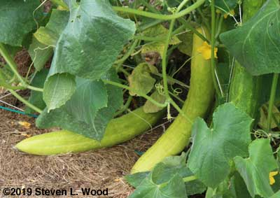 More overripe cucumbers for seed saving