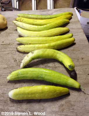JLP cucumbers for seed on drying table