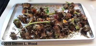 Zinnia seed heads on drying tray (glorified cookie sheet)