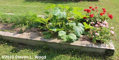Yellow squash plant fills half of bed