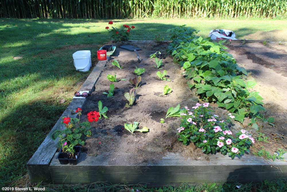 Transplanting fall lettuce