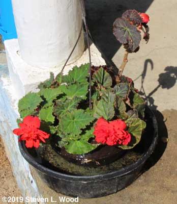 Begonia in farm watering pan