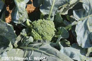 Third head of Goliath broccoli