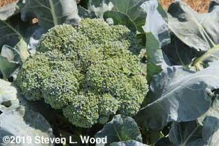 Huge head of slightly overripe Goliath broccoli