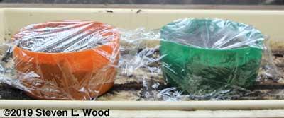 Pots of lettuce and snapdragon seeds under lights for germination test
