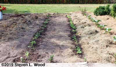 Kale rows