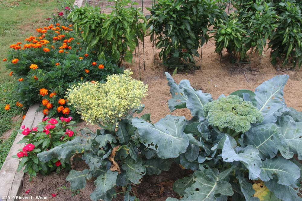 Goliath broccoli in bloom and another large head