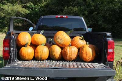 Pumpkins destined for the food bank