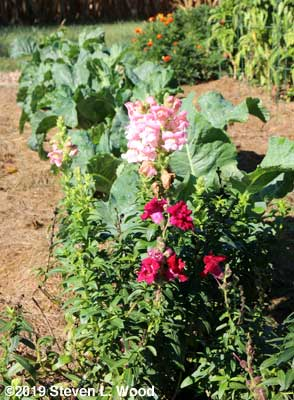 Snapdragons and cauliflower