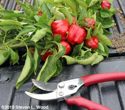 Dwarfed peppers