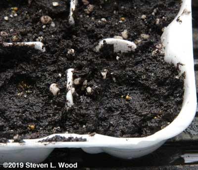 Tiny petunia pellets visible