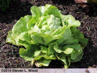 First Lettuce (Naancy)