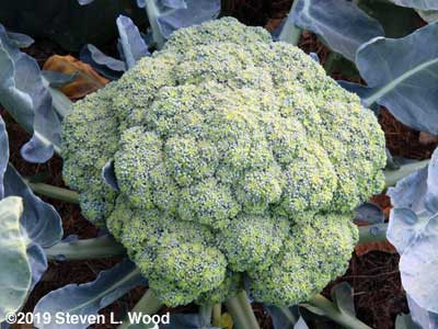 A huge head of Castle Dome broccoli