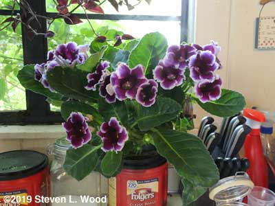 Lovely gloxinia in bloom