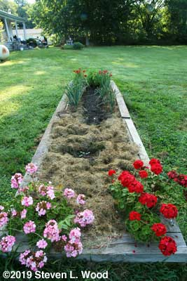 Same bed with geraniums, yellow squash, fall carrots, and onions