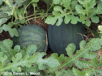 Blacktail Mountain watermelon