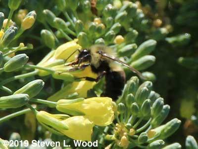 Bumblebee on broccoli bloom