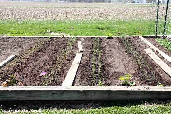 Four double rows of onions