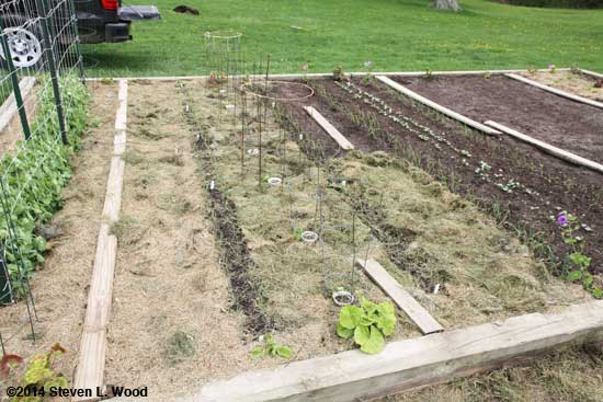 Mulching peppers, onions, and carrots