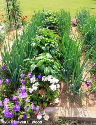 Onions around pepper plants