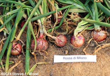 Rossa di Milanos in ground