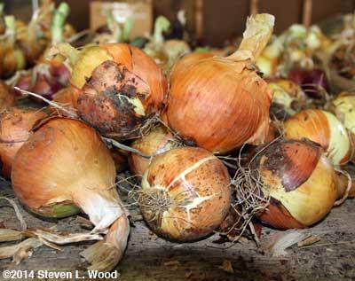 Pulsar onions