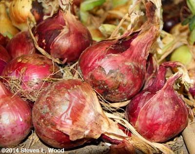 Tropeana Tonda onions