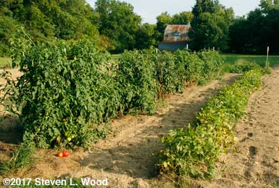 Caged tomatoes and long row of kidney beans